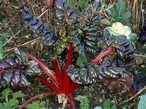 Rhabarberpflanze - roter Rhabarber