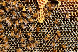 Waabe mit Bienen